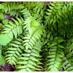 japanese holly fern