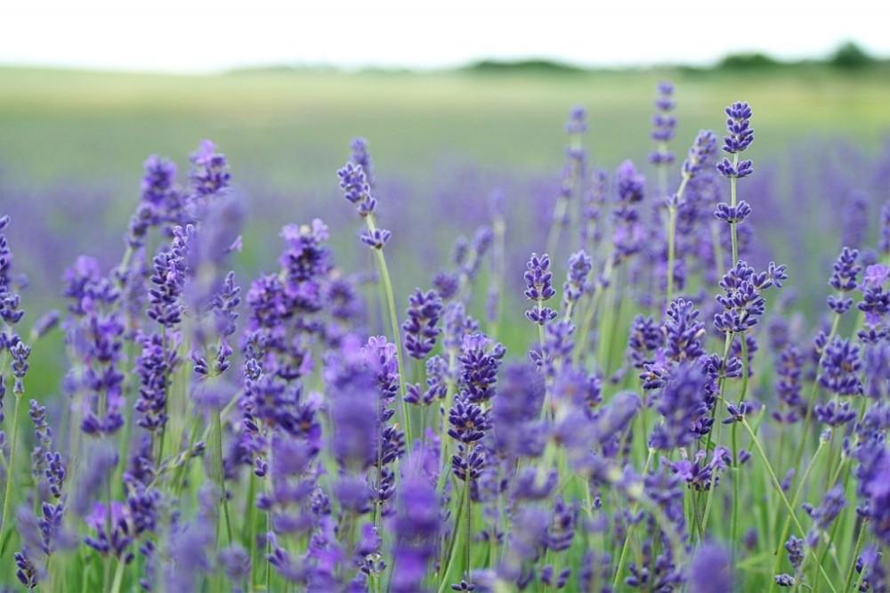 lavender-field-1031258_1280-1024x682